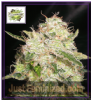 Cream of the Crop White Chronic Fem 10 Seeds